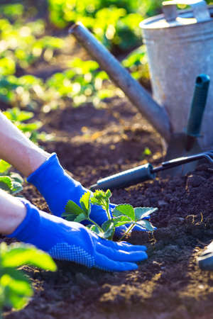 planting strawberries in the garden - hands holding a seedling, watering can and shovel in the background Stock Photo