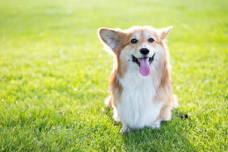 corgi fluffy close up portrait at the outdoor