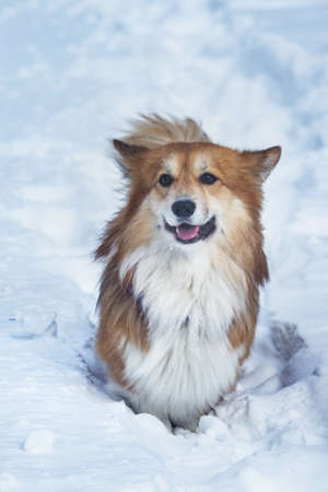 corgi fluffy dog at the outdoor. close up portrait at the snow. walking in winter Stock Photo