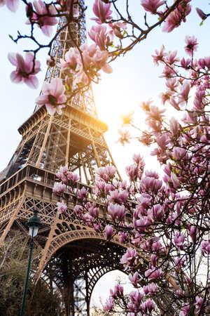 Bloeiende magnolia tegen de achtergrond van de Eiffeltoren Stockfoto
