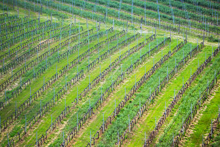 vineyards in the hills of Tuscany in spring close-up, Italy 免版税图像