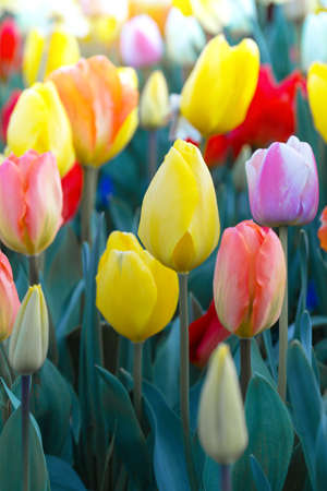 multicolored tulips growing at the gardgen. Amsterdam, Netherlands
