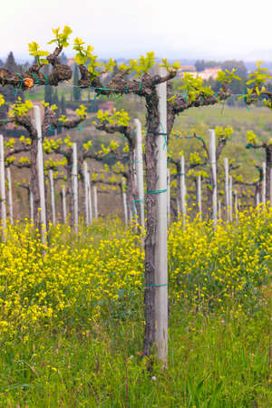 vineyards in the hills of Tuscany in spring and typical Tuscan landscape in the background, Italy Stock Photo
