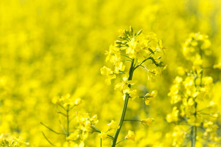 bright yellow blooming rapeseed field and blue sky