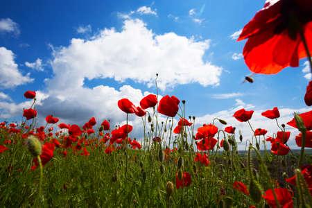 Hintergrund des schönen roten Mohnfeldes gegen einen strahlend blauen Himmel. Provence, Frankreich. ein Plakat