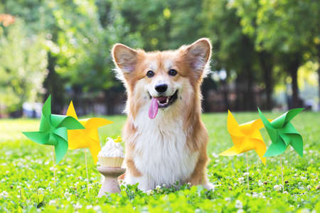 birthday off beautiful corgi fluffy on green lawn and colorful party flags on the background. bright summer and love for pets