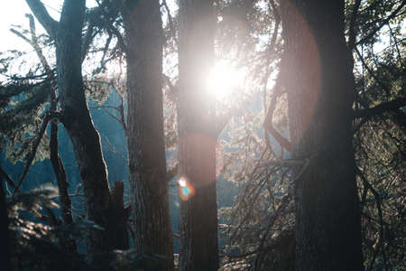 beautiful mountain landscape. pine forest and sunshine through pines at sunrise