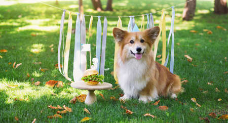 birthday off beautiful corgi fluffy on green lawn and colorful party ribbon on the background Banco de Imagens