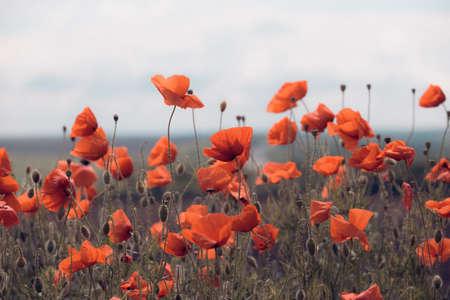 background of beautiful red poppy field. Provence, France. a poster Reklamní fotografie