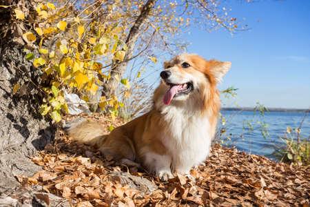 beautiful corgi fluffy portrait at the outdoor. autumn