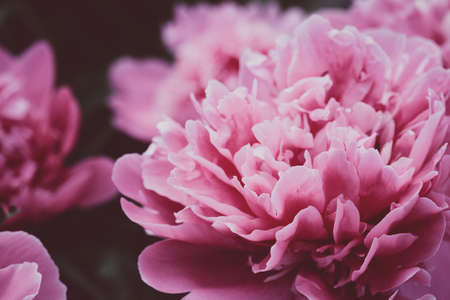 beautiful pink peonies close up. abstract natural background