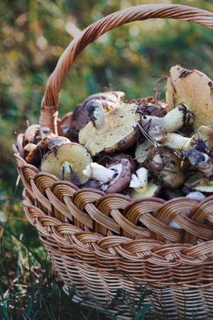 basket with mushrooms on a background of green grass