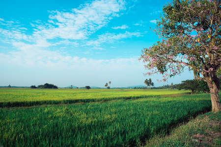 Paddy field in Malaysia