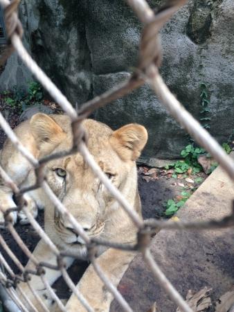 美しい雌ライオンを敷設