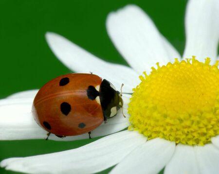 Ladybird sit on chamomile petal, image