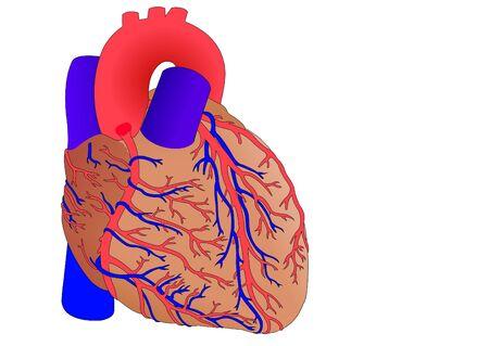 heart vessel: human heart