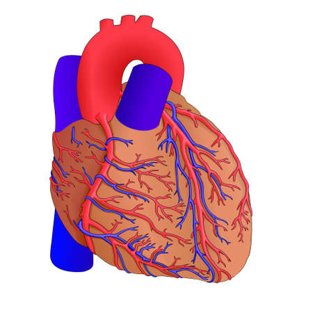 Human heart anatomy, illustration Vector