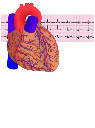 Human heart and electrocardiogram on white, vector illustration Illustration