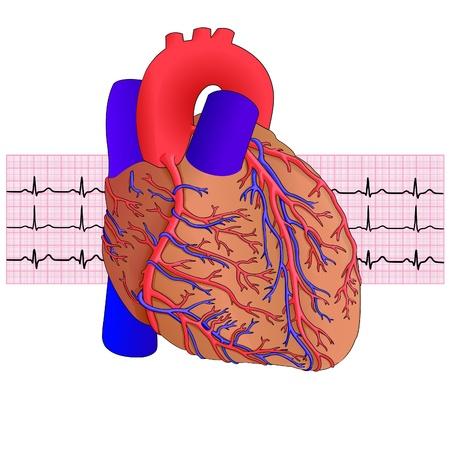 C?ur de l'homme et l'électrocardiogramme sur fond blanc, illustration vectorielle Vecteurs