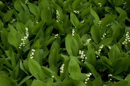 lily flowers: lily of the valley in the garden Stock Photo