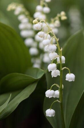 lily of the valley in the garden Stock Photo