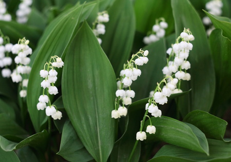Lily of the valley in the garden