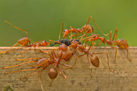 red ant: Ants Stock Photo