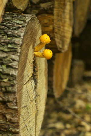 protruding: Yellow mushrooms protruding from the oak trunk Stock Photo