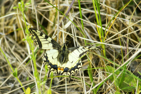 swallowtail: Butterfly Swallowtail sits in the grass