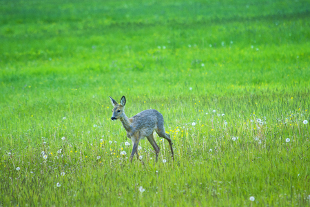 The Fawn in the field view in three quarter