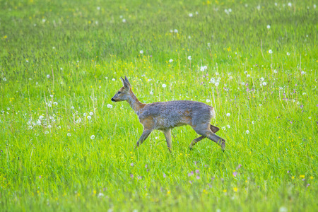 The Fawn in the field side view Фото со стока