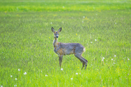 Fawn in the field in a front view Фото со стока