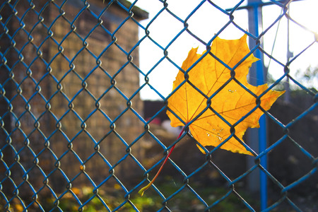 chaining: Orange leaf in the metal fence.