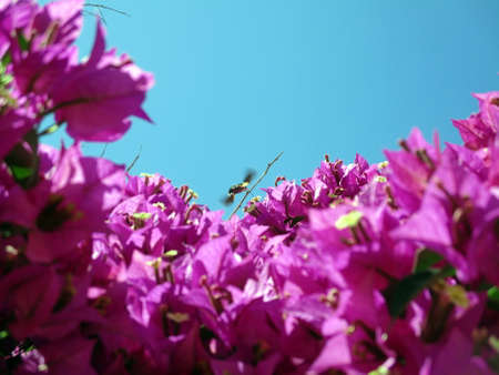 nectar: Hummingbird Moth drinking nectar
