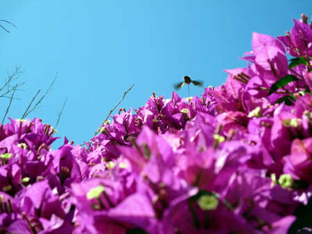sipping: Hummingbird Moth sipping nectar