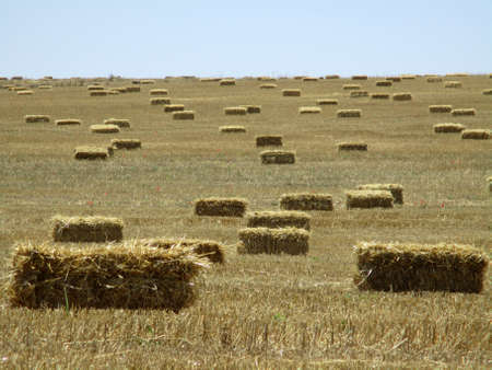 dispersed: Hay bales dispersed in a harvested wheat field Stock Photo