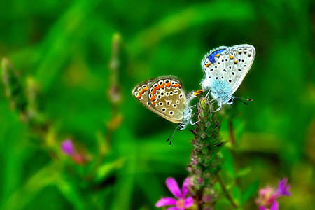 mariposa verde: Un par de mariposas rom�ntica sobre una flor Foto de archivo