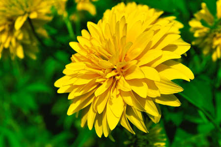 Yellow chrysanthemum.jpg