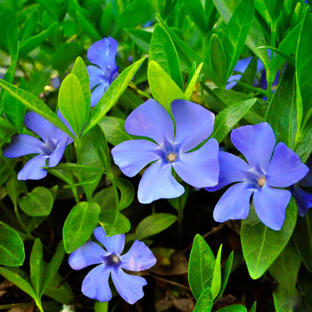 groundcover: Several periwinkle against a background of green foliage Stock Photo