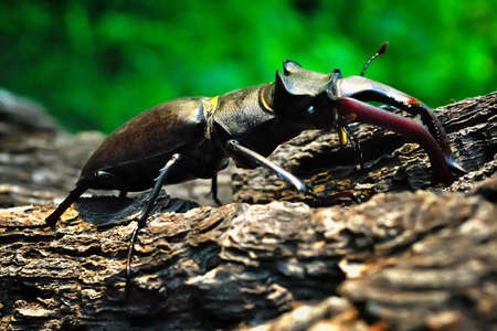 Stag beetle crawling on the trunk of a tree on a green background Stock Photo