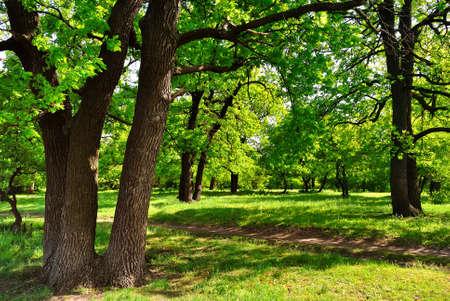Jour d'été dans le bois de forêt de chênes