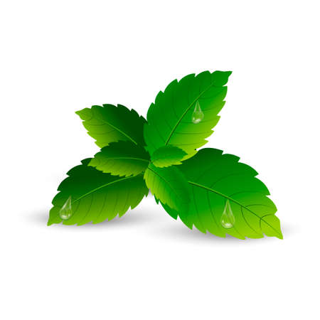 Realistic mint leaves with soft shadow. Vector. Illustration