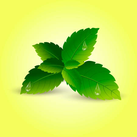 Realistic mint leaves with soft shadow vector.