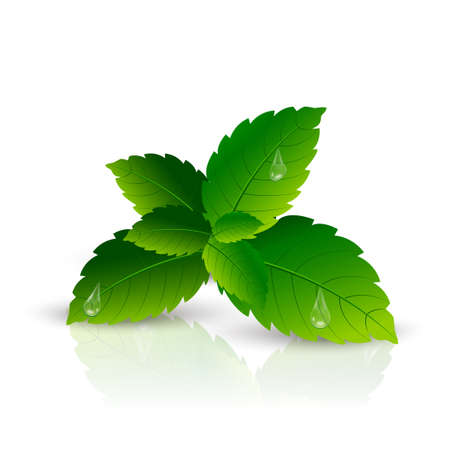 Realistic mint leaf on white background. Vector Illustration
