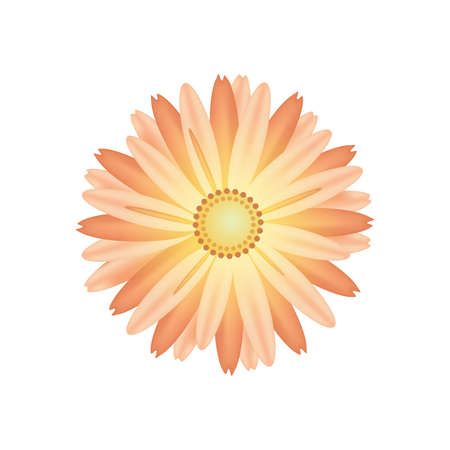 Yellow Chrysanthemum isolated on white. Vector