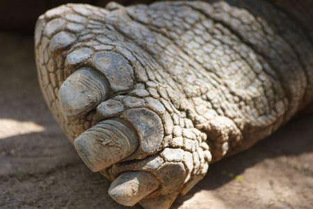 Giant tortoises Foot. terrestrial turtles,tortoises,