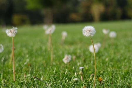 Dandelion Flower turned to clock.  Banco de Imagens