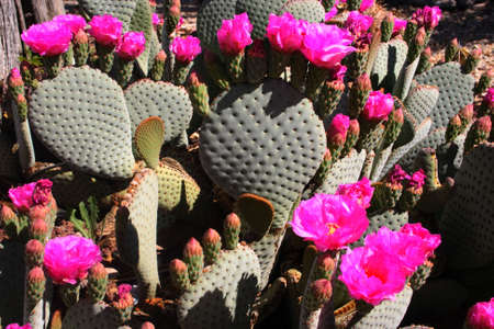 prickly: Prickly Pear Cactus in bloom with bright pink flowers.