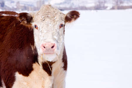 A brown pink nose cow with hay hanging out of its mouth and steam coming out of her nose. On a white snowy background.