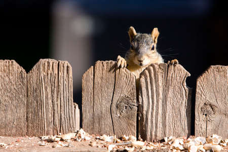 A very cute squirrel looking over a wood fence. photo